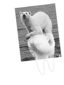 Broadsides - Polar Bear 1
